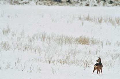 Afbeelding: Reegeit in de sneeuw